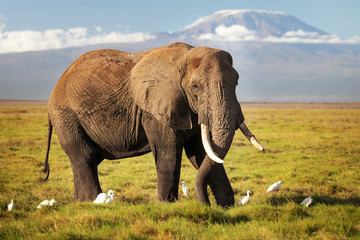 African bush elephant (Loxodonta africana) walking on savanna, with white Cattle Egret (Bubulcus ibis) birds, with mount Kilimanjaro top snow covered in background. Amboseli national park, Kenya Wall mural