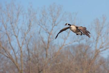 A canada goose glides across the sky