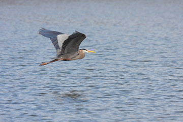 Great Blue Heron Flys Across Water