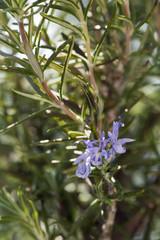 Rosemary herb in bloom