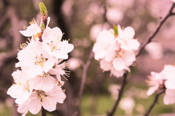 Apricot bloom. Candid. Copy space.