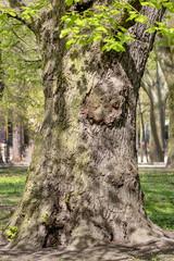 magnificent ancient plane tree