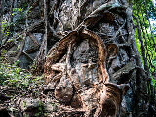 The amazing nature of the trees and giant vine. It takes about 10 or 100 years to grow..Is beautiful The nature of Thailand.