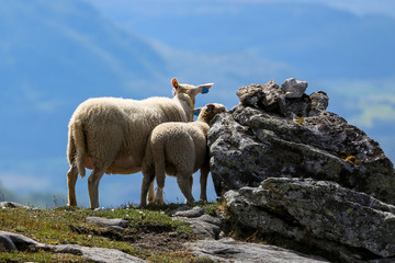 Sheep in mountain pasture