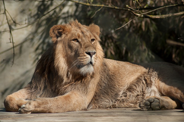 portrait of lion sitting at the zoo