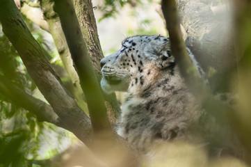 portrait of white leopard in a tree