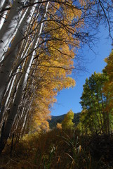 Looking Up at Fall Aspen Trees