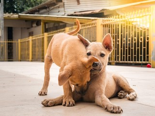the twin puppy brown color, Homeless dog. Playing bite together at outdoor of countryside of thailand.