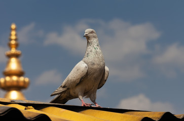The gray pigeon sits on a yellow roof of the Buddhist monastery, against the background of clouds, in sunny day. The gold spike of the monastery is visible.