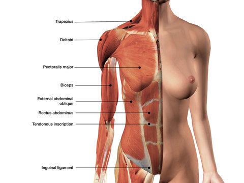 Female Chest Muscles Labeled on White Background