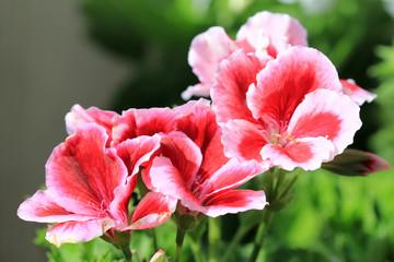 Цветы Pelargonium grandiflorum крупным планом