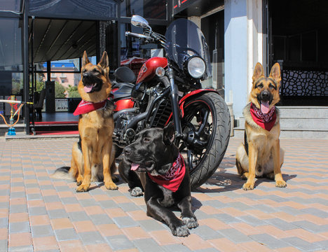 Three dogs near a motorcycle (chopper). Two German Shepherd Dogs and Kane-Corso dog. Dogs have red bandanas on their necks. Sunny day.