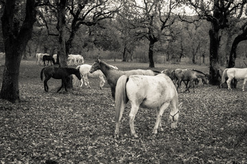 A Group Of Free Horses Graze In An Oak Forest