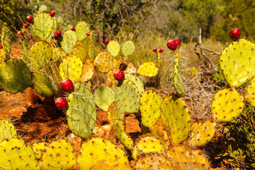Prickly pears.Opuntia ficus-indica. also known as indian figs.
