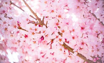 桜のイメージ2018