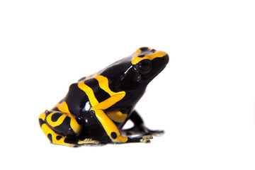 The bumblebee poison dart frog on white