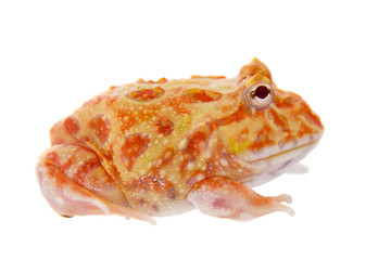 Cranwell's horned frog isolated on white