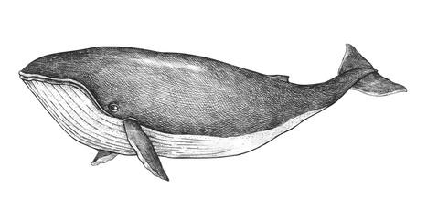 Hand drawn blue whale retro style