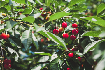 Ripe red cherry weighs on branch with green leaves
