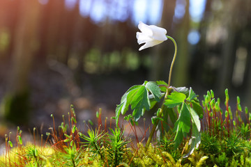 Beautiful white flower of Anemone Nemorosa in spring forest.