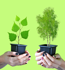 Hands holding tree in pot isolated on green background.