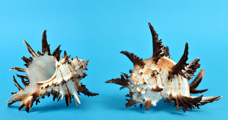Tropical conch shells isolated on blue background. Sea life.