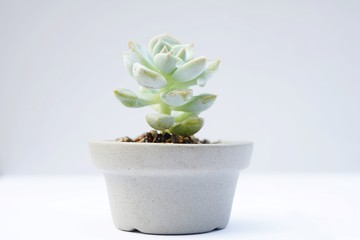 Encheveria, succulent pot plant for house decoration with white background