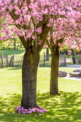 View of two blossoming Japanese cherry trees in the public park of Tremblay, in the suburbs of Paris, with pink flowers growing at the foot of the closer tree.