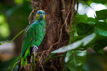 Green big parrot sitting on the branch in the forest and looking at camera