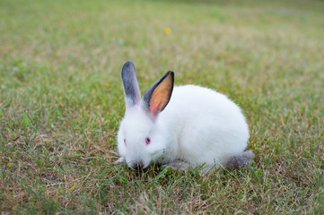 Funny grazing white little rabbit on grass in the garden