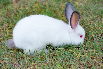 Fluffy white little rabbit with red eyes eating grass in the garden
