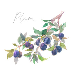Watercolor fruit plum branch isolated on white background. Hand drawn painting