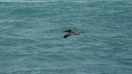 Pelikane am Meer