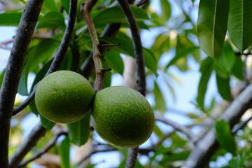 bael fruit tree