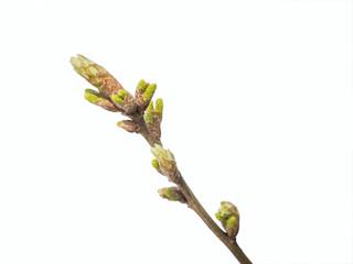 Oak bud on white Fotobehang