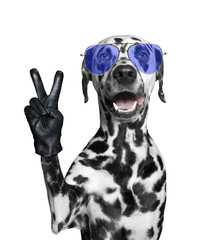 Dalmatian dog with victory fingers. Isolated on white