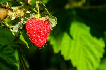 Raspberry on a bush on summer