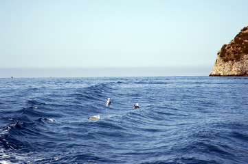Gulls over water that plunge-dive to catch prey in the sea