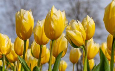 Amazing blooming tulips 8