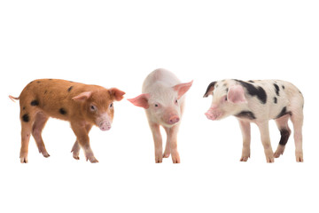 three pig on a white