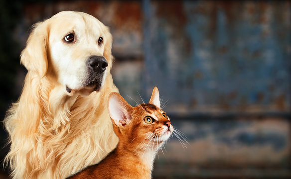 Cat and dog, abyssinian cat, golden retriever together on rusty colorful background, sad anxious mood.