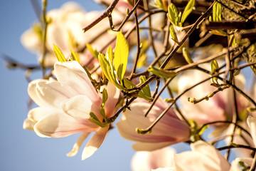 Magnolia blossom with blue sky