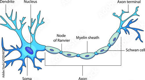 Schematic Vector Diagram Of A Neuron Or Nerve Cell Stock Image And
