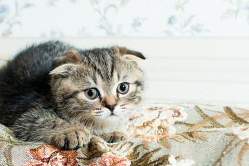 beautiful little gray kitten