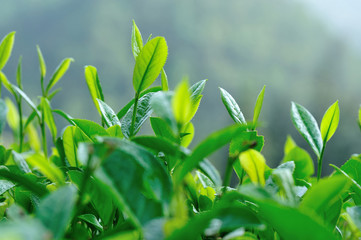 Growing green tea trees in spring mountains