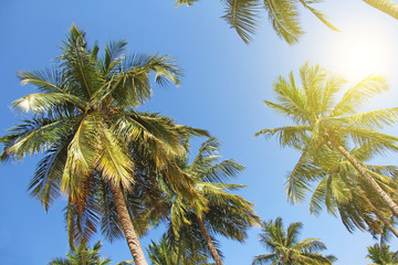 Green beautiful palms with coconuts against the blue sky and sun. Beautiful tropical and exotic background or landscape