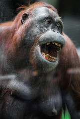 Large red orangutan with round face