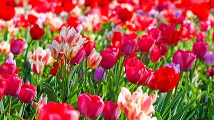 Wall Mural - Glück, Lebensfreude, Frühlingserwachen, Auszeit, Leben: Buntes, duftendes Blumenfeld mit Tulpen m Frühling :)
