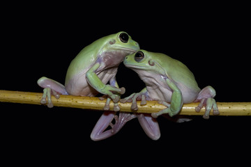 Close up of tree frogs sitting on twig against black background