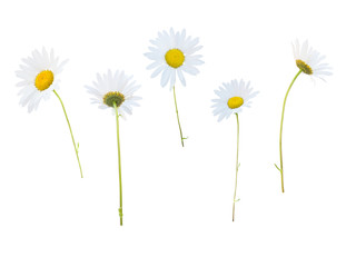 Daisy white flowers isolated on white Wall mural